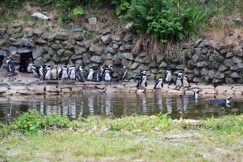 beekse bergen pinguins