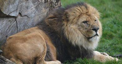 leeuw figaro bellewaerde
