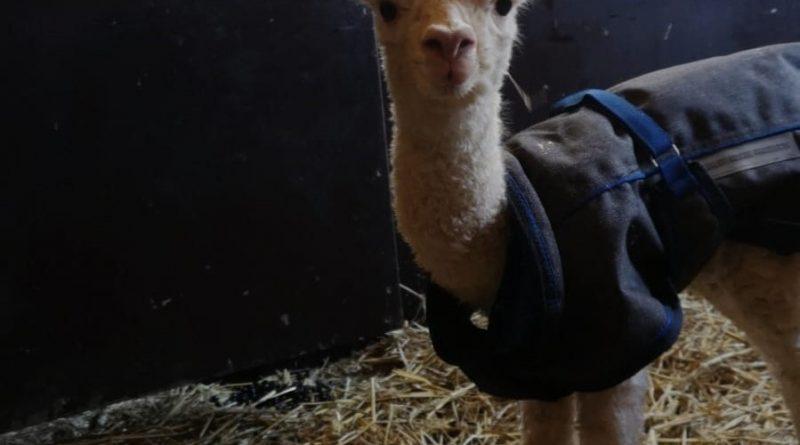 alpaca geboren in plaswijckpark