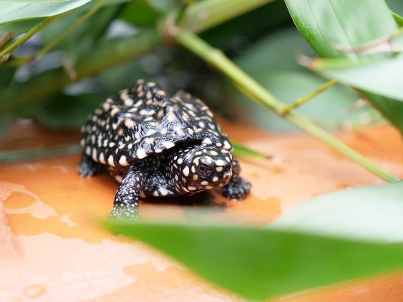 zeldzame schildpadden uit het ei in wildlands