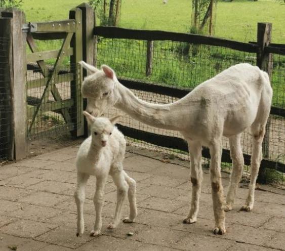alpaca plaswijckpark geboren