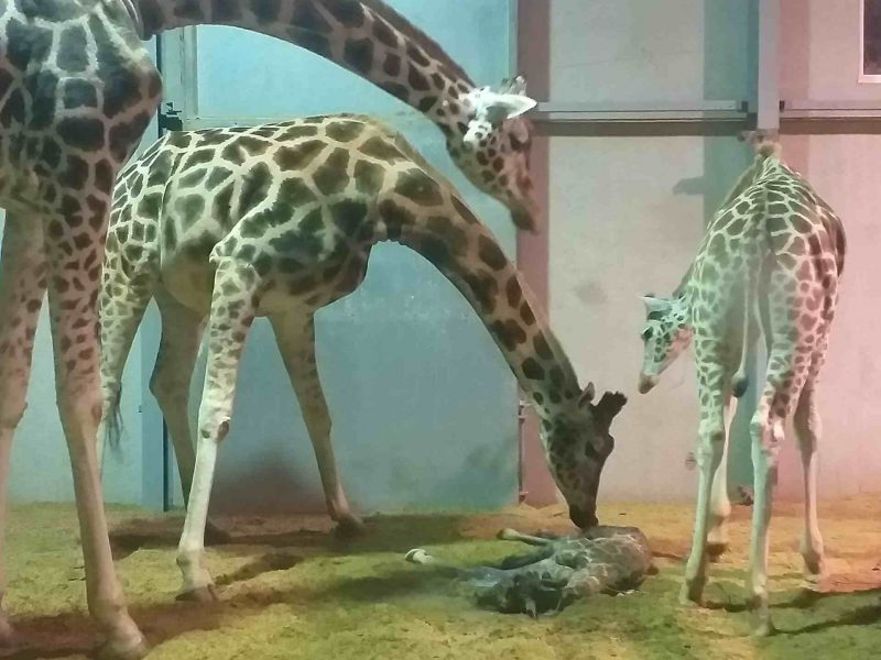 bellewaerde giraf