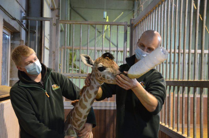 giraf bellewaerde