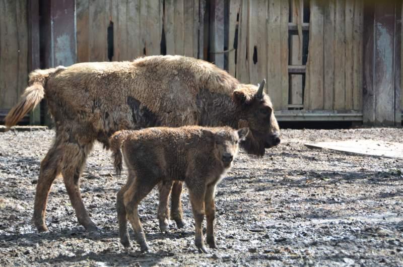 Zomerse geboortes bij de Europese Bizons in Bellewaerde Park